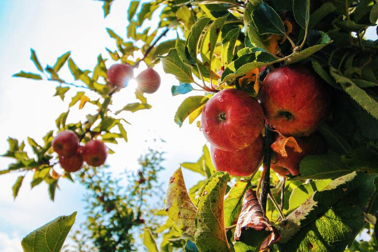 Apfel Kalorien